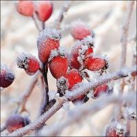 Servietten 33x33 cm - Frozen Rosehips