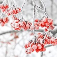 Servietten 33x33 cm - Iced Berries