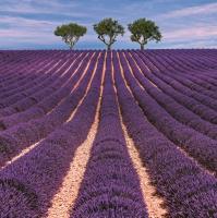 Servietten 33x33 cm - Lavendelfeld