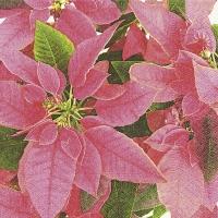 Servietten 33x33 cm - Rosa Weihnachtsstern