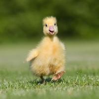 Servietten 24x24 cm - Easter Duck