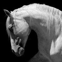 Servietten 33x33 cm - Grey horse