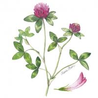 Servietten 25x25 cm - Red clover