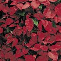 Servietten 33x33 cm - Red Florals