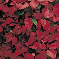 Servietten 24x24 cm - Red Florals