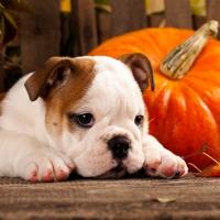 Servietten 33x33 cm - Autumn Dog