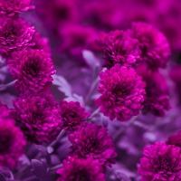 Servietten 33x33 cm - Fuchsia Flowers