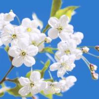 Servietten 33x33 cm - Blossom & Sky