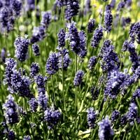 Servietten 24x24 cm - Lavendel field