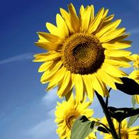Servietten 33x33 cm - Sunflower bloom