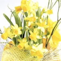 Servietten 33x33 cm - Daffodil blossoms