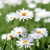 Servietten 24x24 cm - Full of daisies