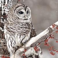 Lunch Servietten Snow Owl