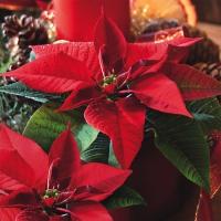 Servietten 33x33 cm - Navidad Estrella de Navidad