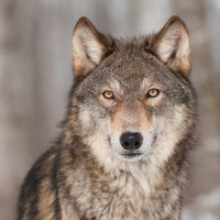 Servietten 33x33 cm - Grey Wolf