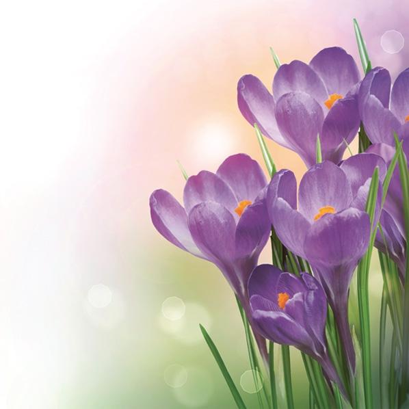 Servietten 33x33 cm - Ein Haufen violetter Krokusse.