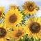 Servietten 33x33 cm - Sunflowers in the Sky